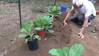 CABBAGE SEED TO GARDEN WITH TIMELINE and  *POTTING UP TIPS* (OAG)
