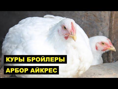 , title : 'Разведение кур породы Арбор Айкрес как бизнес идея | Птицеводство | Бройлерные Куры Арбор Айкрес