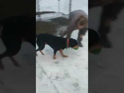 Abbie, an adopted Rottweiler in Califon, NJ