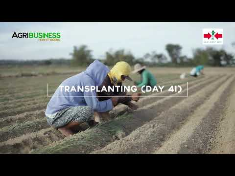 , title : 'How to Grow Onion Part 2:  Area Preparation, Direct Seedling Transplanting, Farm Management