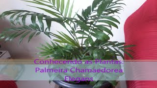 # Conhecendo as Plantas: Palmeira Chamaedorea Elegans