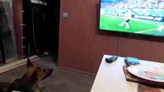 Овчарка, любитель футбола