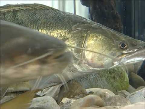 Download LFV, Fische und Fischerei, Teil 5, Waller, Neunaugen, Krebse, Kleinfische u. Sumpfschildkröte