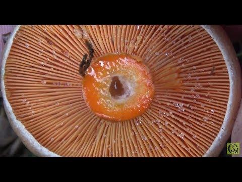 Какие грибы растут на Куршской косе