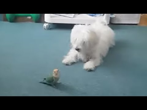Awesome animal friendships: Dog and parrot's adorable playtime