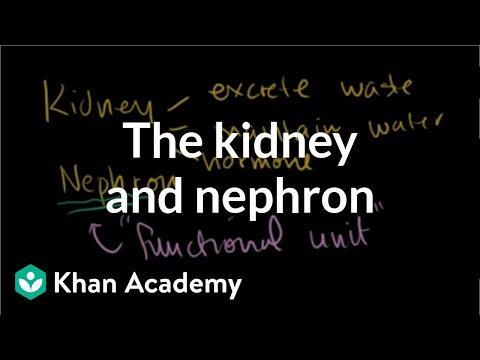 The kidney and nephron (video)   Khan Academy