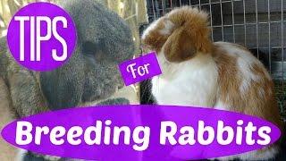My Top Tips for Breeding Rabbits | Breeding Rabbits 101 pt. 1
