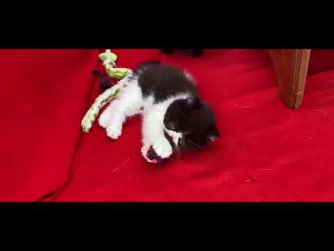 Vendita cuccioli di exotic shorthair