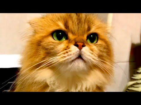Cute Cats to Make You Laugh   Funny Pet Videos