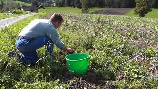 Bio Kartoffeln Von Hand Ausgraben