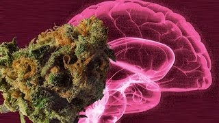 Marijuana's Effects on the Brain's Pleasure Center Explored