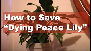 How to save dying peace lily | Peace Lily Care