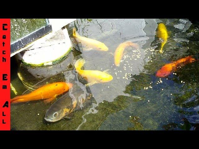 ALBINO FISH BREEDING Surprise in POND!