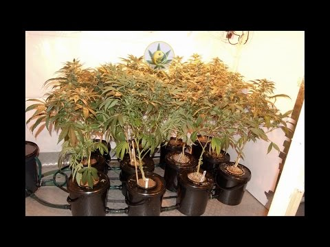 How to Make a Hydroponic DWC Bubbler System - Best Seed Bank