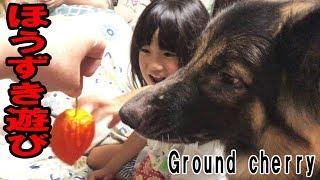 シェパード犬ほうずきって何?German Shepherd Dog Ground Cherry