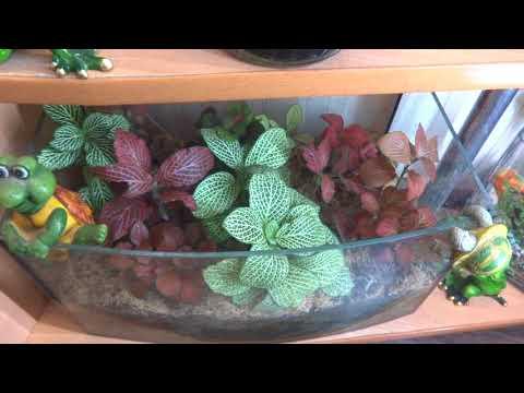 Цветы в моем доме. Комнатные растения. Разноцветные фиттонии.