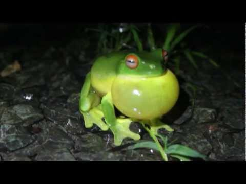 Amphibian Ark: preserving endangered frogs and other amphibians