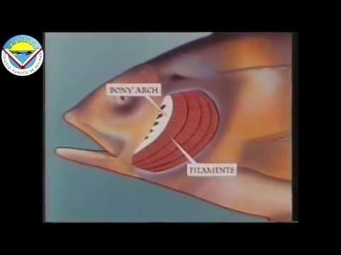 El jengibre las propiedades medicinales al adelgazamiento