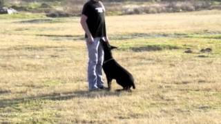 Doberman Lady Entrenando Para Perro De Proteccion Dobermann Work
