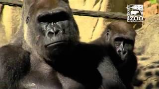Happy Fathers Day to Silverback Gorilla Jomo - Cincinnati Zoo