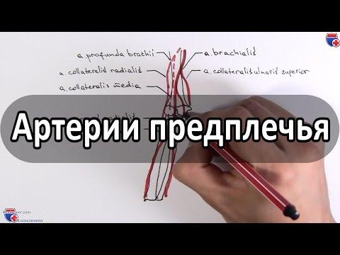 Артерии предплечья -  ветви лучевой и локтевой артерий - meduniver.com