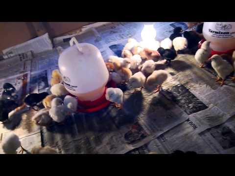 Video Ternak Ayam Kampung Super part 1 - umur 5 harian