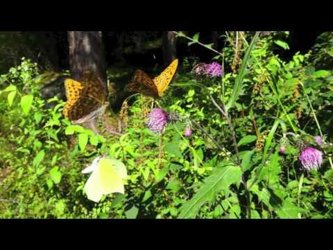 スジボソヤマキチョウの飛翔