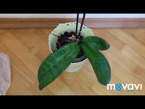 Реанимация орхидеи. Правильное начало реанимации фаленопсиса - залог 100% успешного РЕЗУЛЬТАТА!