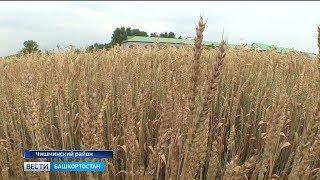 В Башкирии селекционеры и аграрии выращивают экспериментальные культуры