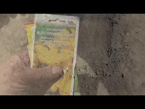 Сею кабачки и патиссоны в открытый грунт