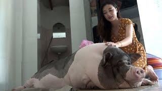 Chuyện Lạ Sài Gòn, Nuôi Lợn Hơn 1 Tạ Làm Thú Cưng