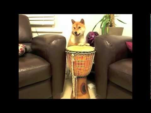 כלב יפני בתרגילים מדהימים!