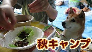 柴犬小春 【絶品キャベツ巻き?】お母さんの千切ってくれるお肉はじっと待つ
