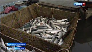 Более 35 тысяч тонн лосося удалось добыть рыбакам Хабаровского края в 2020 году