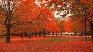Maple Tree,Celtic Astrology