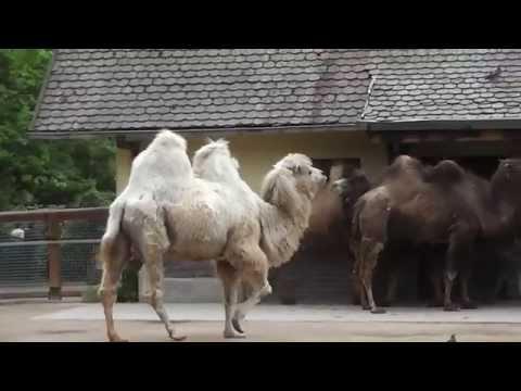 Kamele im Frankfurter Zoo in HD