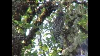 Juvenile Red-shouldered Hawk calling