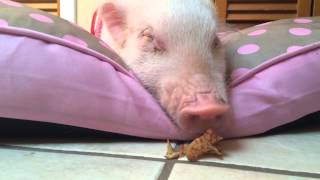 Piggy wakes up from a nap for a snack