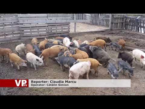 Veterinarii prahoveni, în alertă maximă. Porcii din județ, în pericol