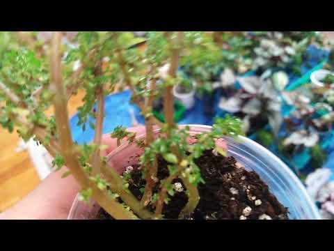 Комнатные цветы. Чем обработать комнатные растения ,если появился мучнистый червец!!