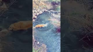 Golden Retriever Puppies Videos