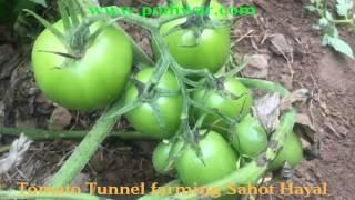 Tomato Tunnel farming Sahot Hayal