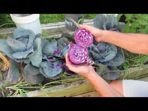 , title : 'When to Harvest Red/Purple Cabbage: At About 75-90 Days - MFG 2014