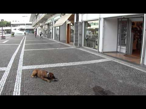 Cane educato fuori dal negozio.  King boxer di 11 mesi alla lezione numero 10
