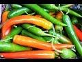 Download Video Chilli farming (हरी मिर्च की खेती) In Baatein Kheti Ki - On Green TV