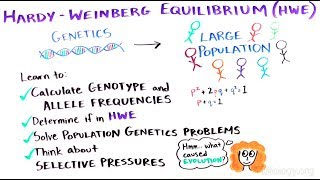 What is the Hardy-Weinberg Equilibrium?