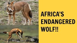 AFRICA'S ENDANGERED WOLF