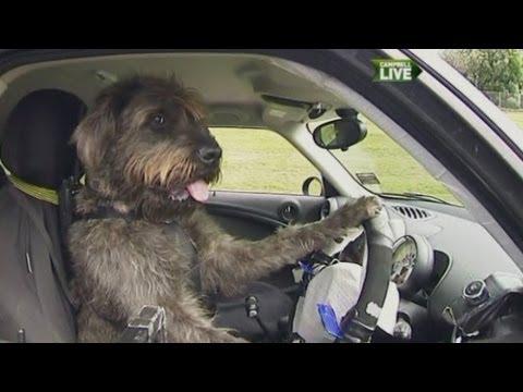 Il cane guida l'auto