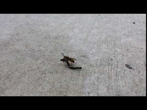 Wasp on a Hoverbike