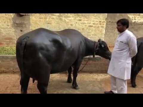 JAGLAN Murrah Farm  Bull-- Dhoni sold prize 8 Lak Rs Village
